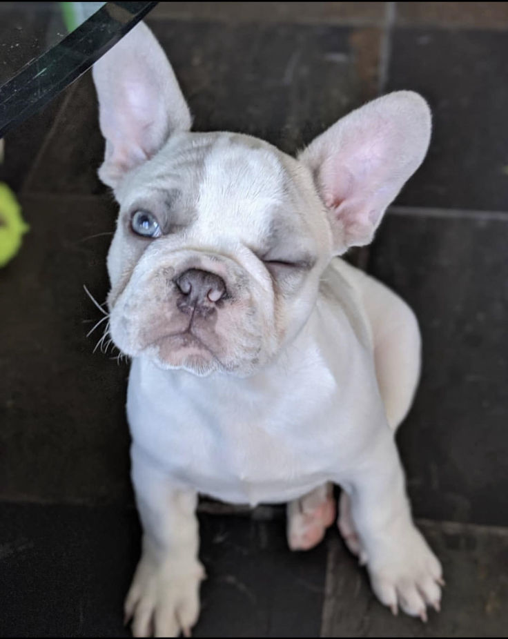 teacup french bulldog for sale
