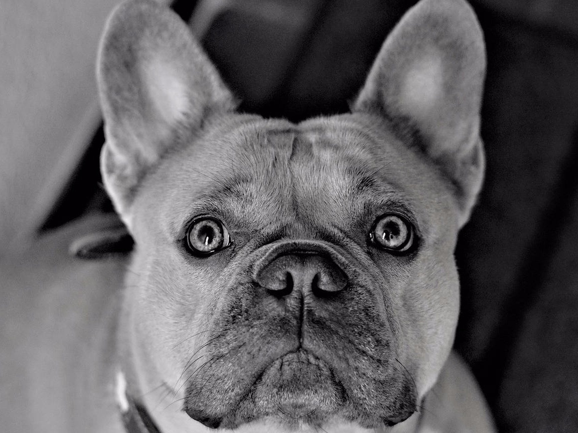 are french bulldog good pet
