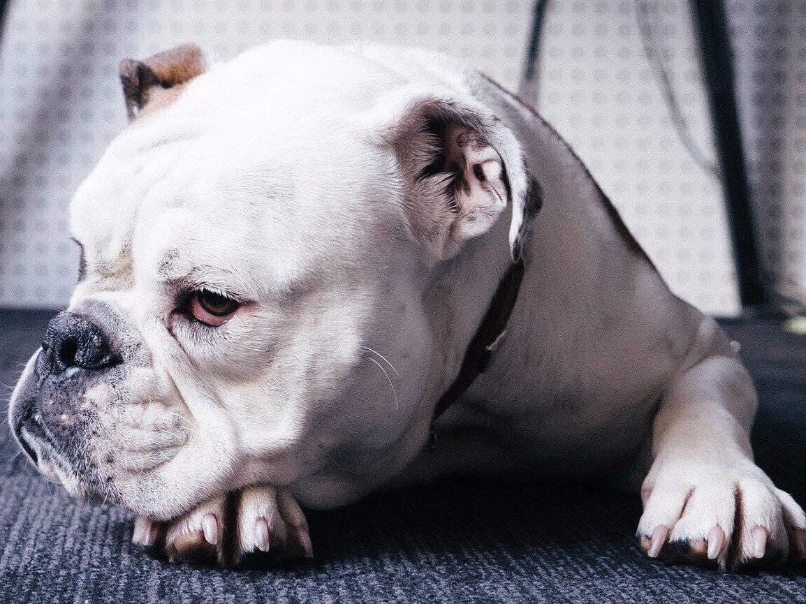 do english bulldog bark alot