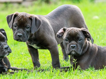 get Male or Female bulldog