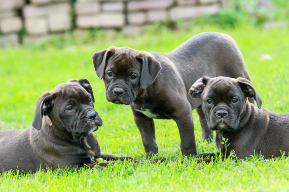 is it better to get a male or female bulldog